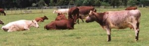 Shorthorns Massey 1988_sm
