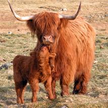 Shetland Cattle