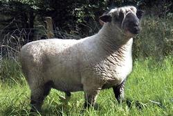 OXFORD DOWN SHEEP